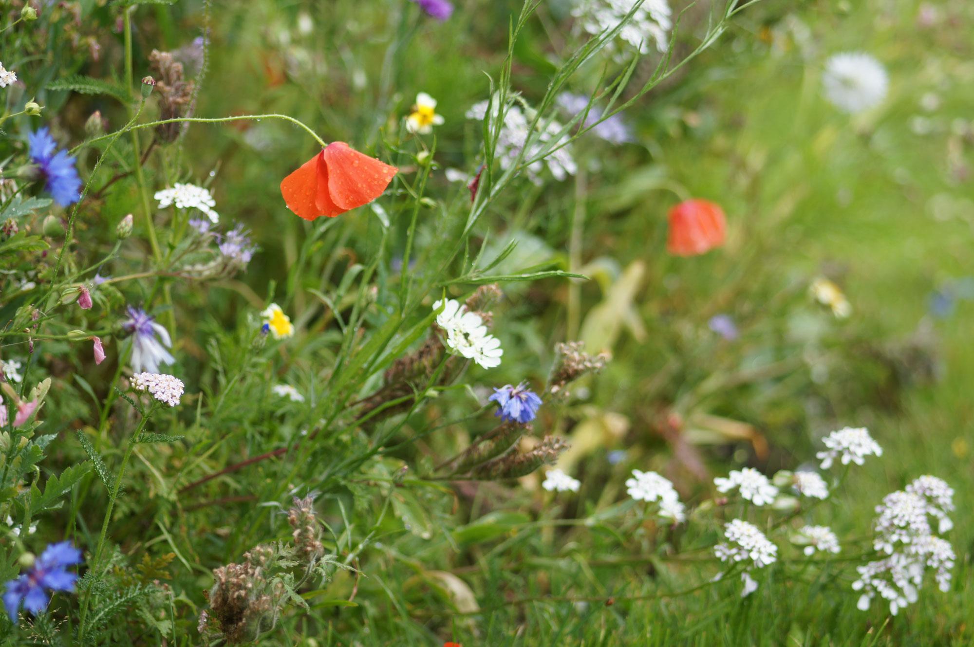 Wildblumenwiesen