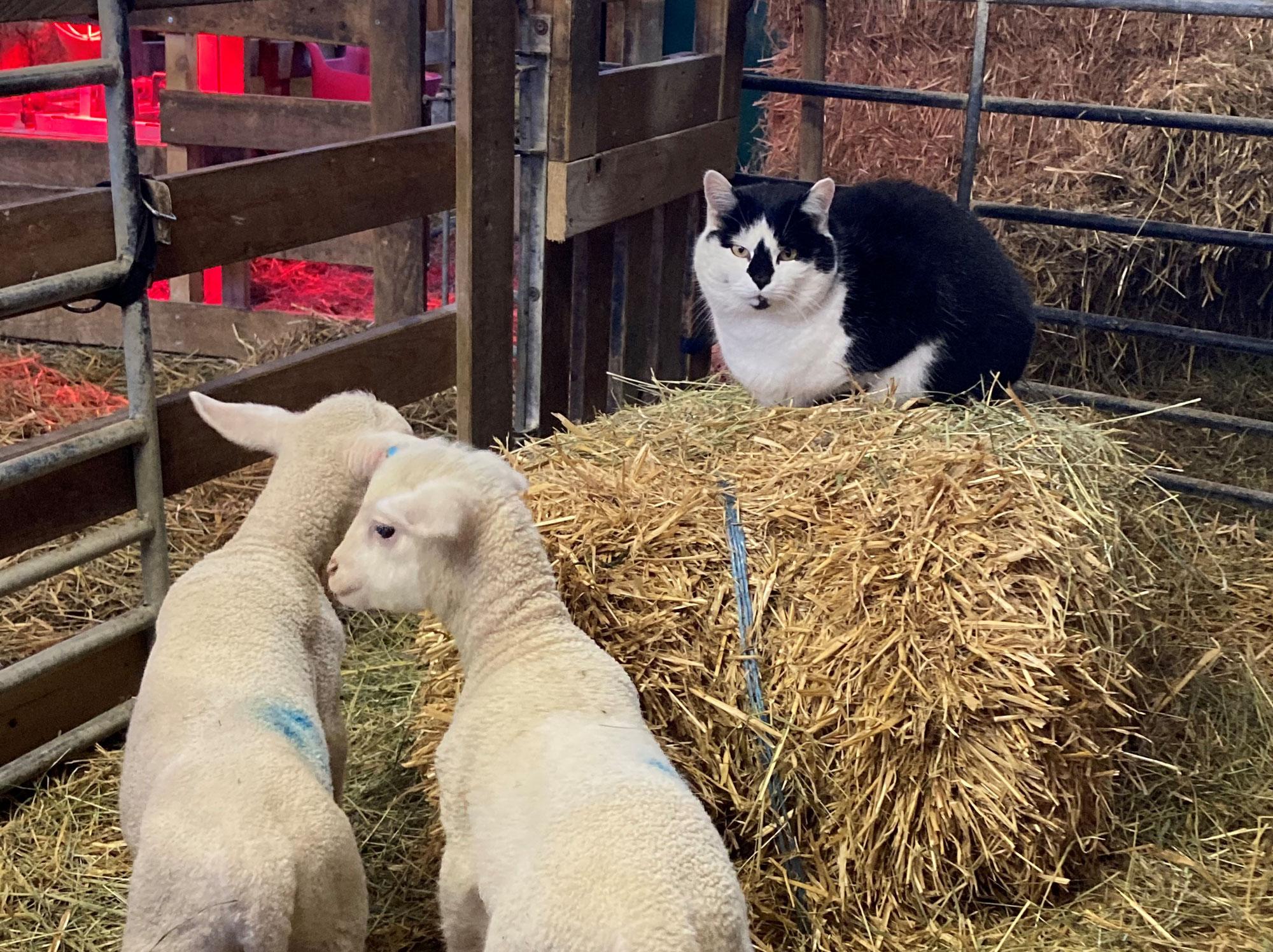 Unsere Schafe und die Katzen