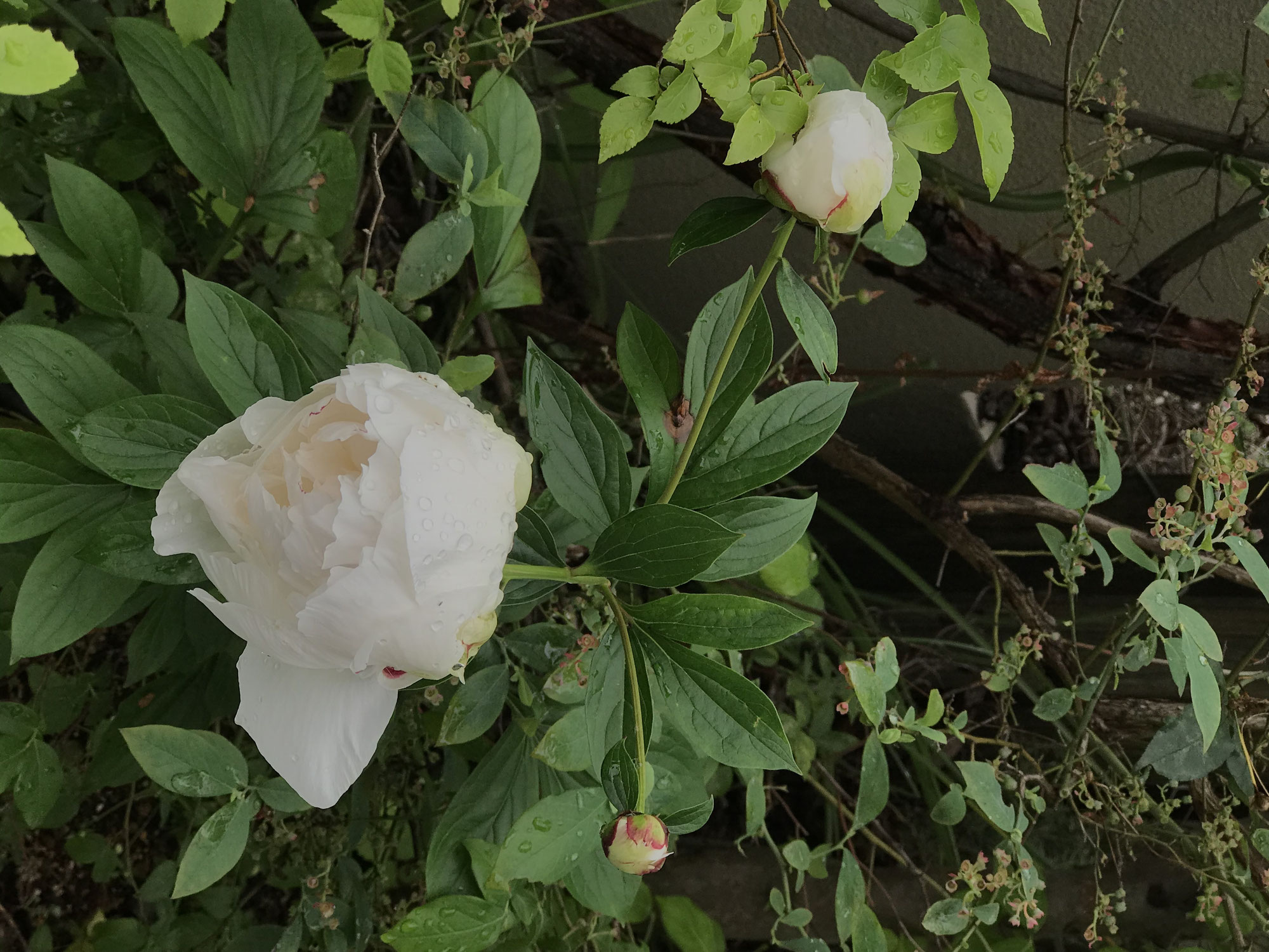 The peony has bloomed!