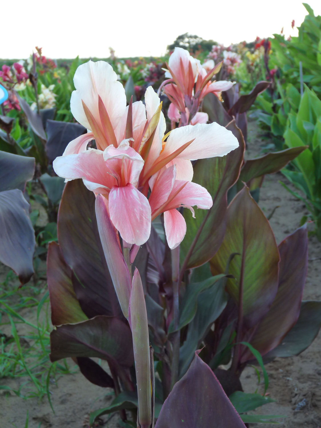 Cannas rouge