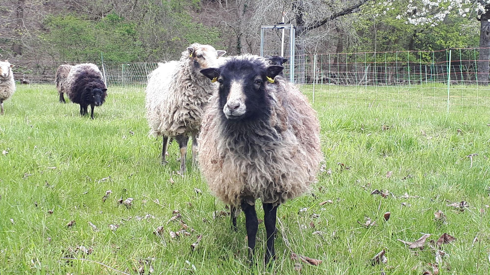 Tulliver Sheep (Teil 1) – Regionaler Wolle wieder Wert geben