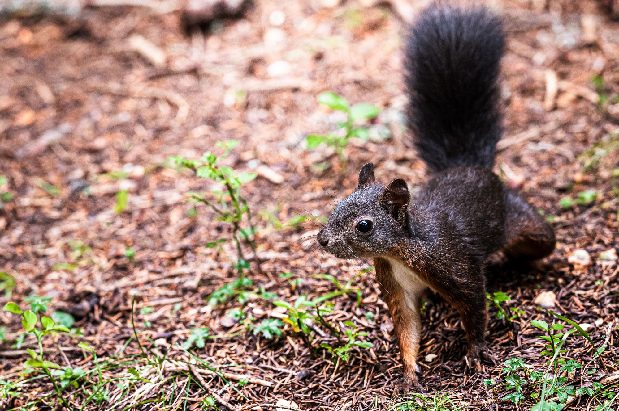 Hörnchen in Arosa