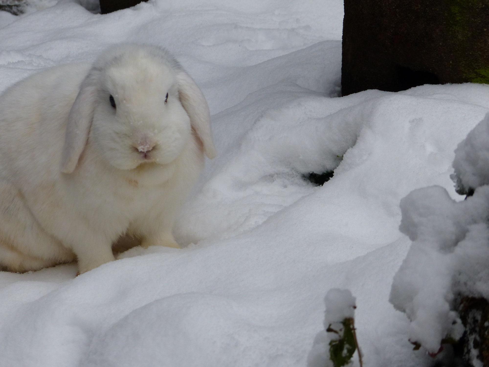 Kaninchen -im Schneeparadies