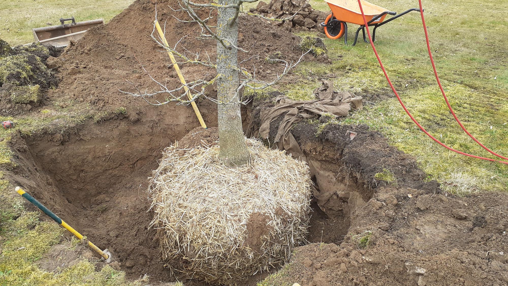 Plantation d'un Liquidambar styraciflua