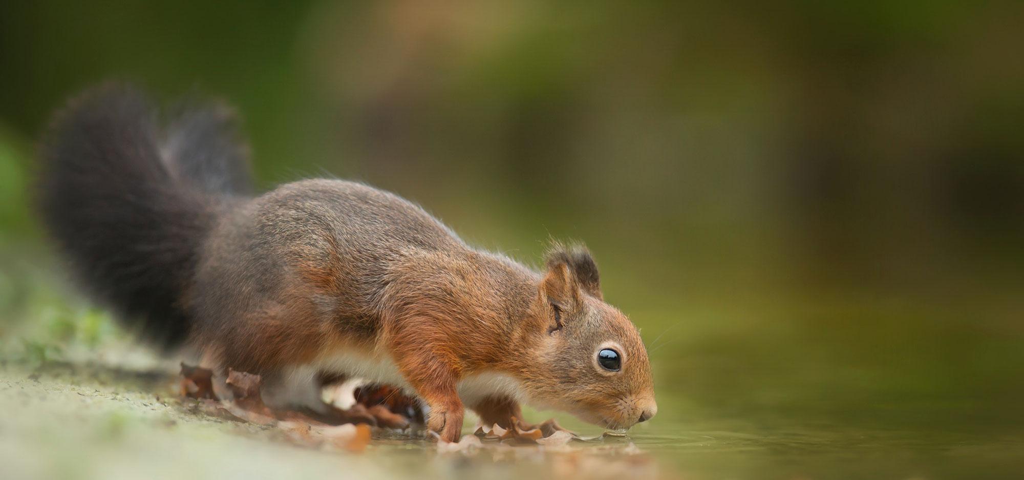 Drei Dinge, die Eichhörnchen vorm Verdursten retten