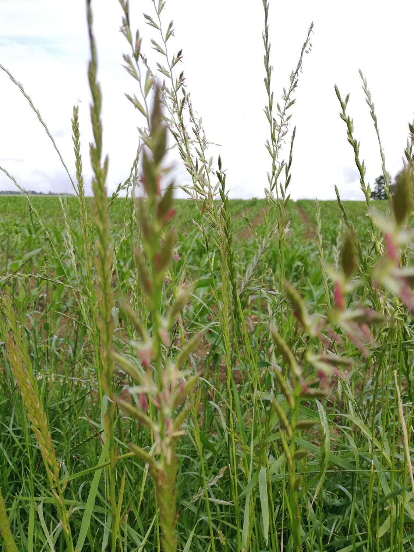 Gräser in der Sittichernährung