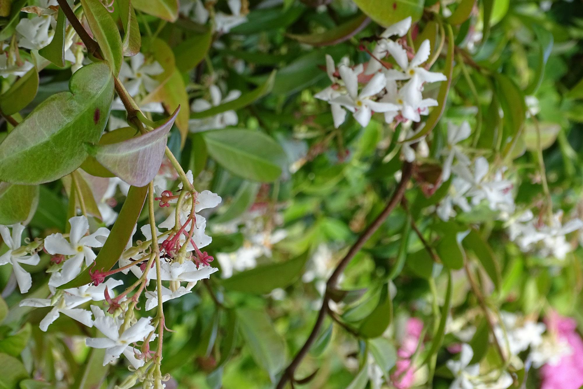 Een fleurige schutting met de Toscaanse Jasmijn