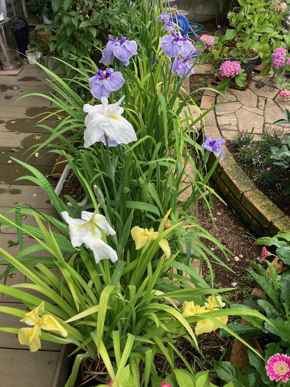 花菖蒲咲きそろう /  All kinds of iris bloom