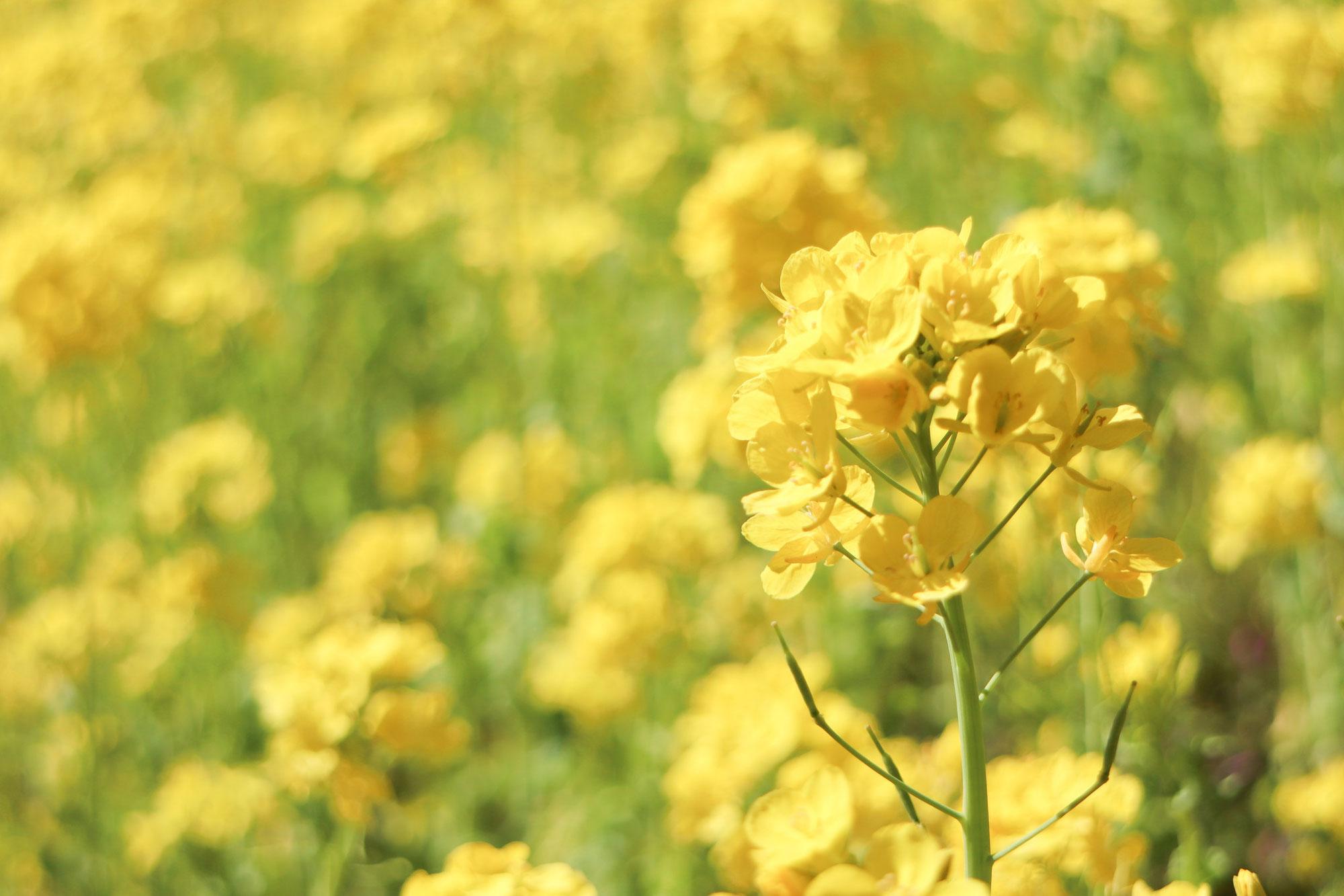 フォトレッスンと抱っこ紐と菜の花