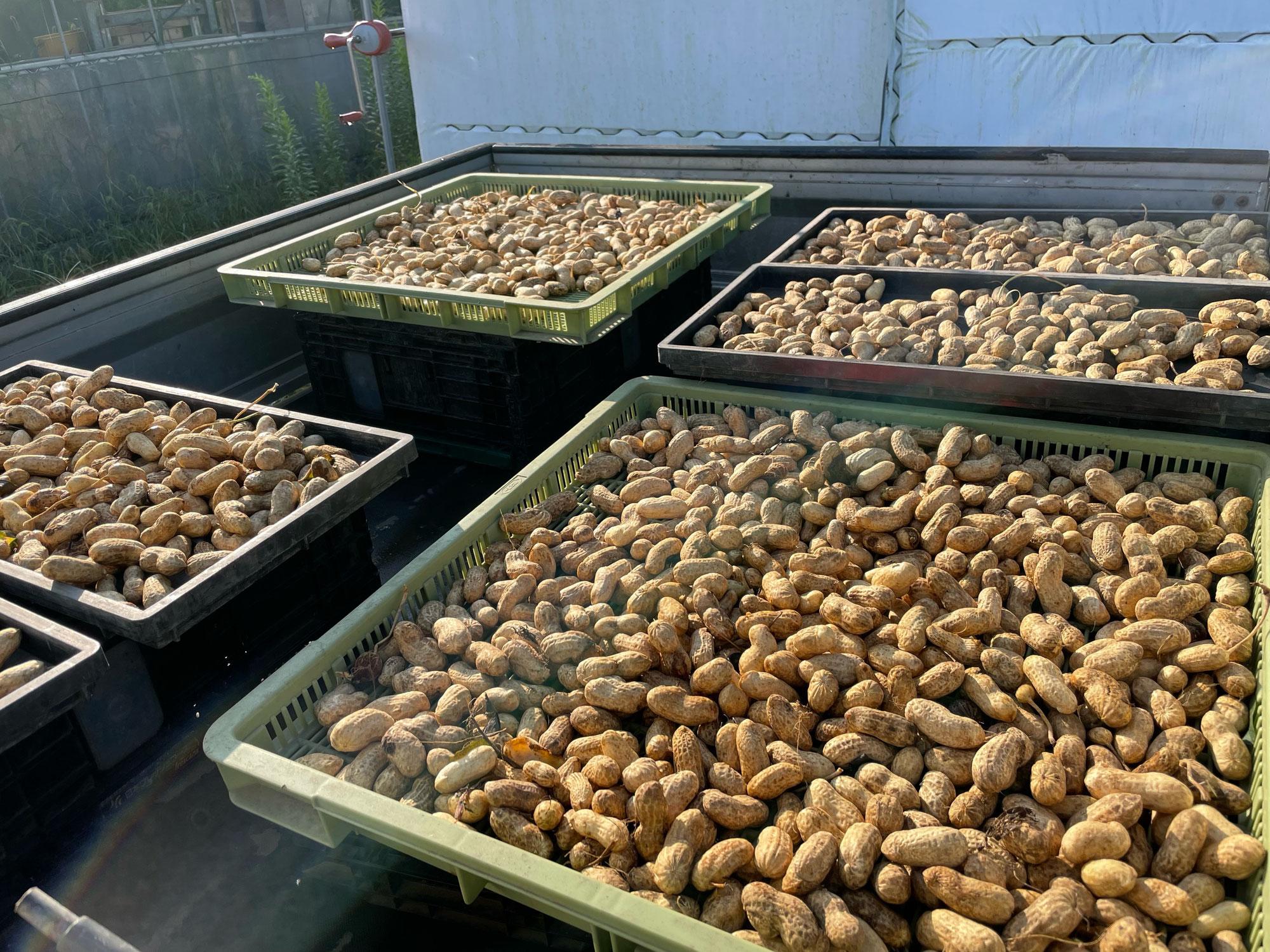 千葉県産「落花生(オオマサリ)」収穫