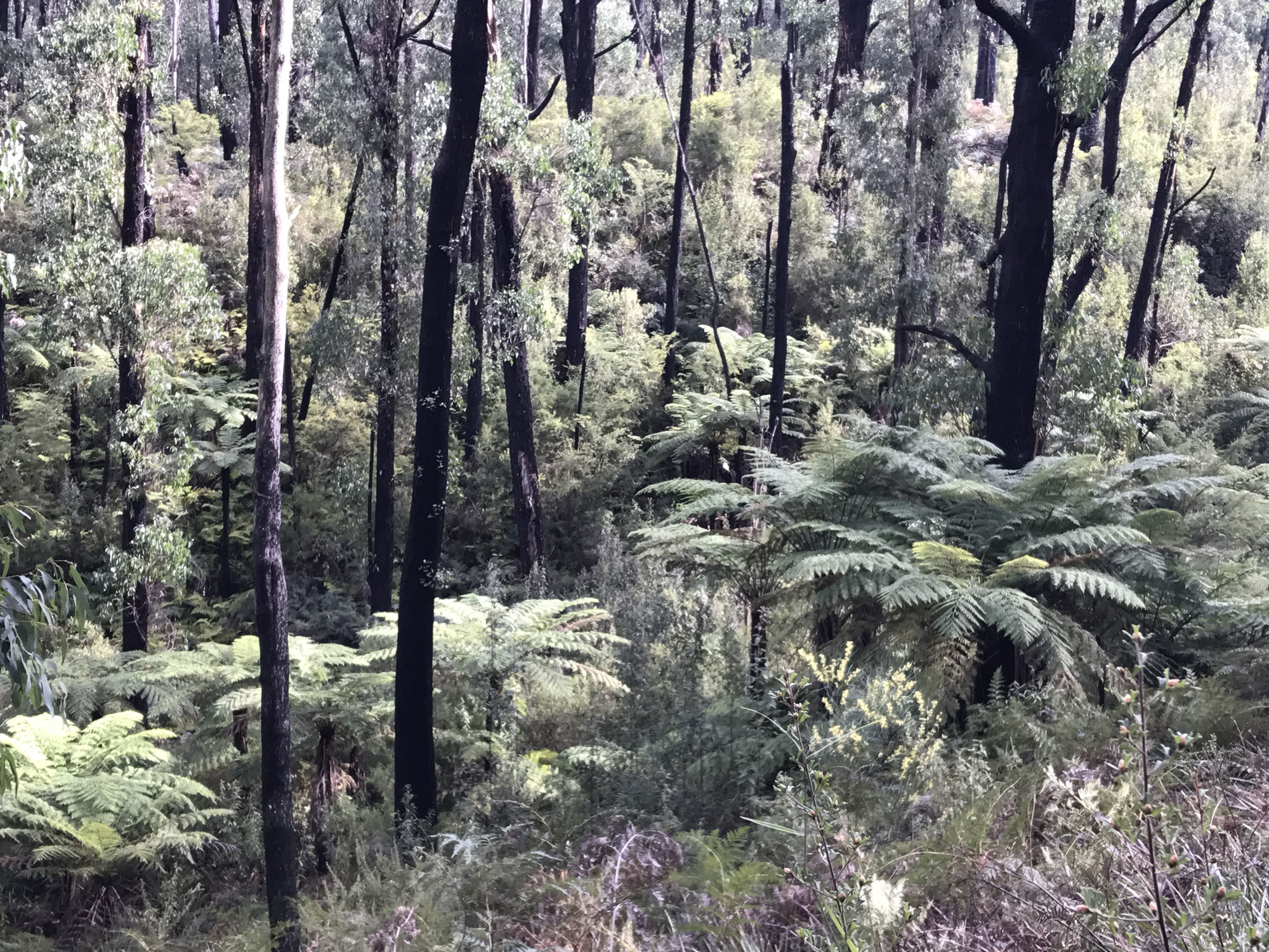 Lyrebird Forest Walk