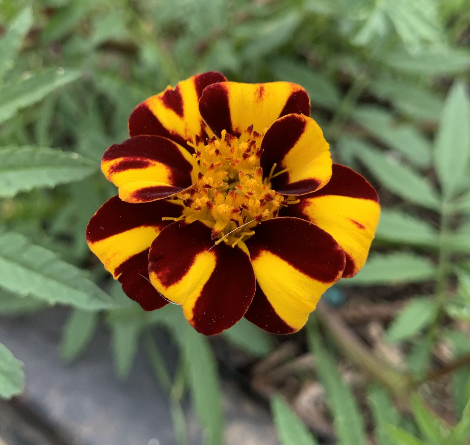 """Hardy heirlooms """"Court Jester"""" French Marigolds"""
