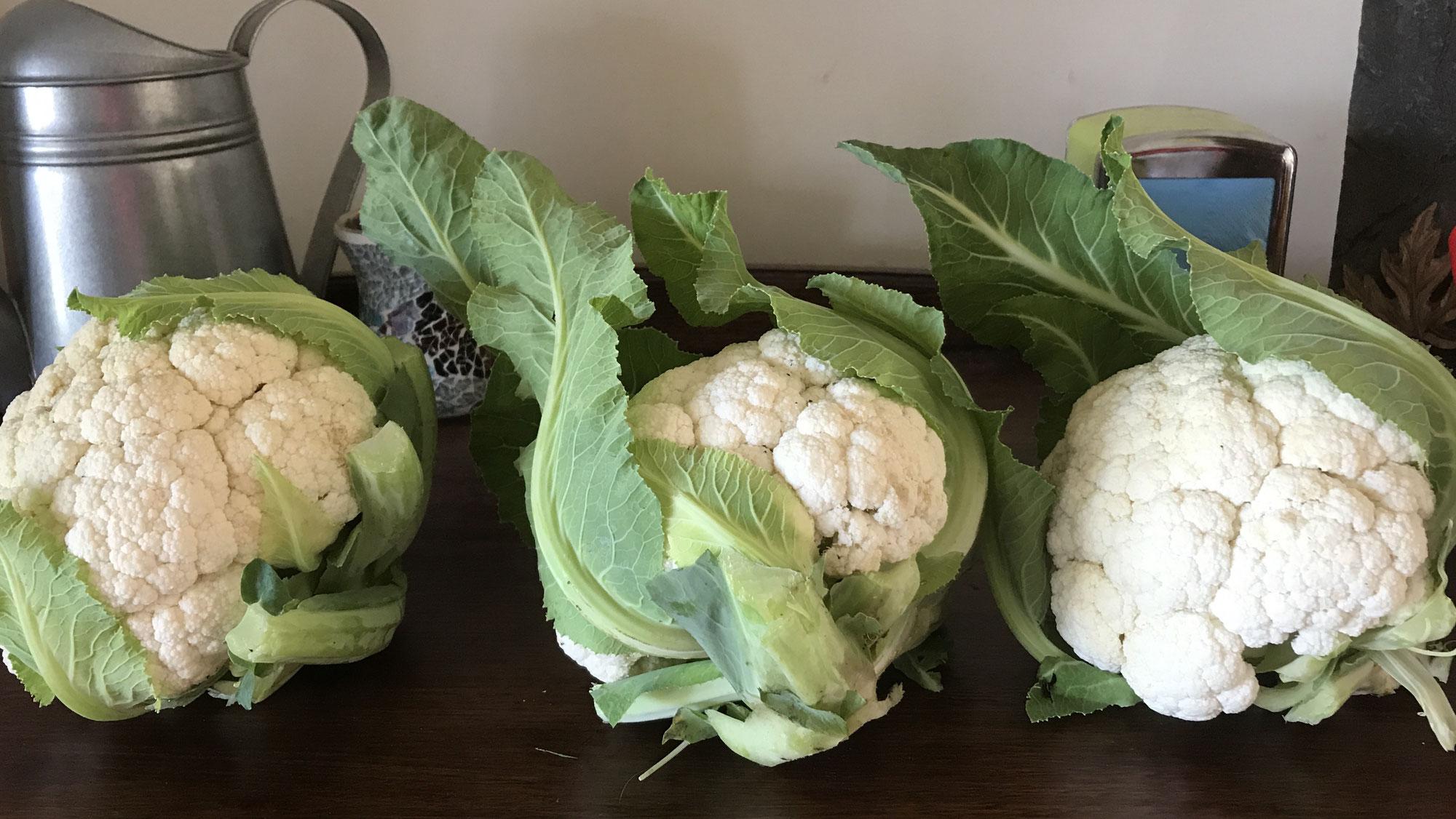 Snowball Cauliflower in the Winter garden.