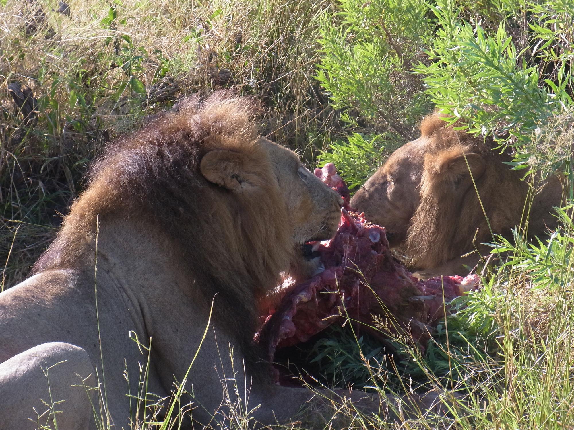 Die Löwen