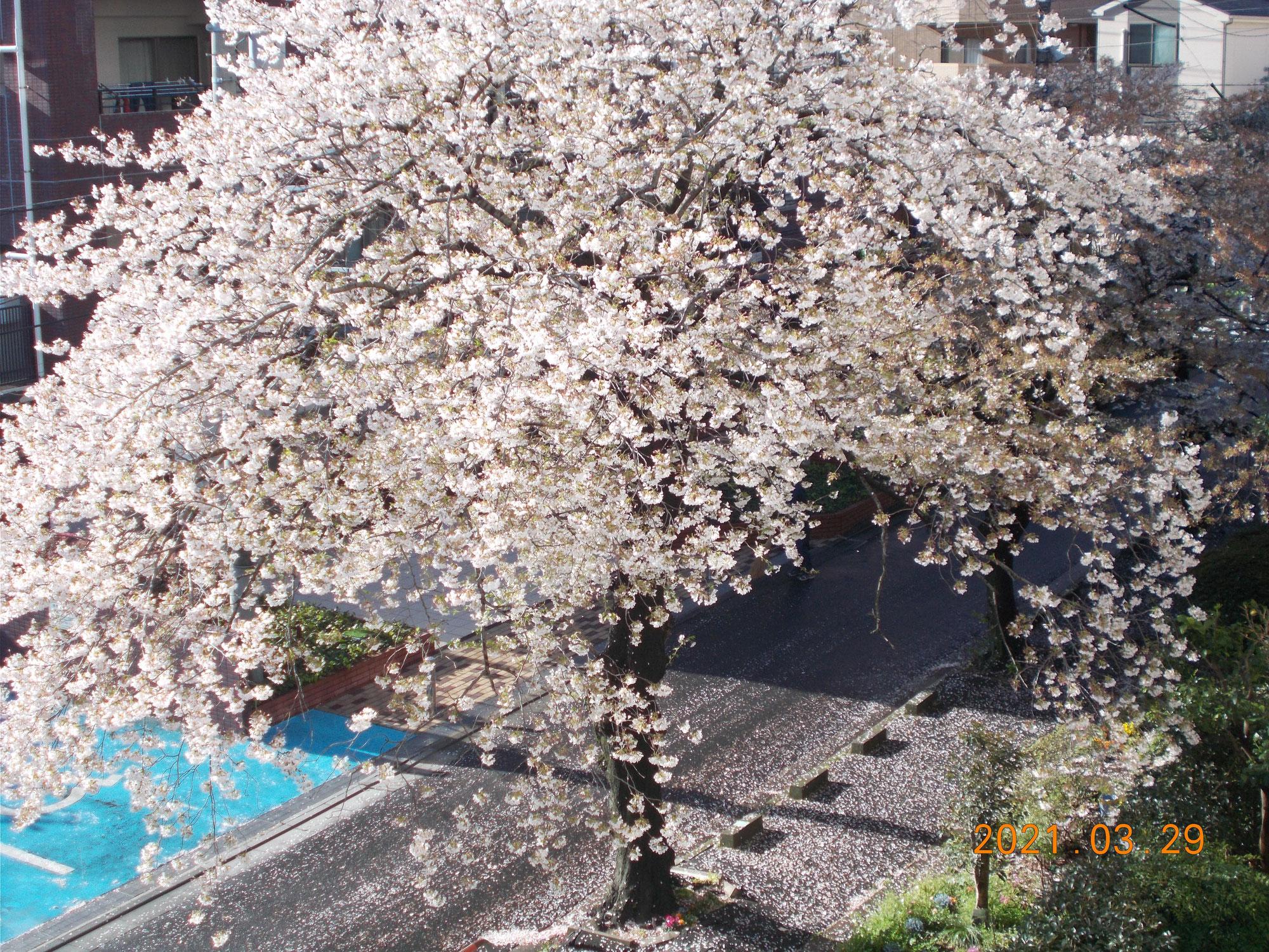 【新27期】自宅から見えた桜