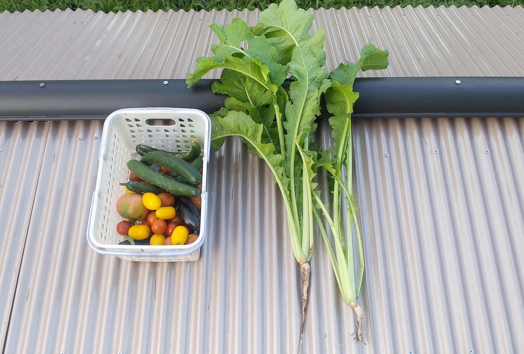 小瀬菜大根収穫 9月なのに