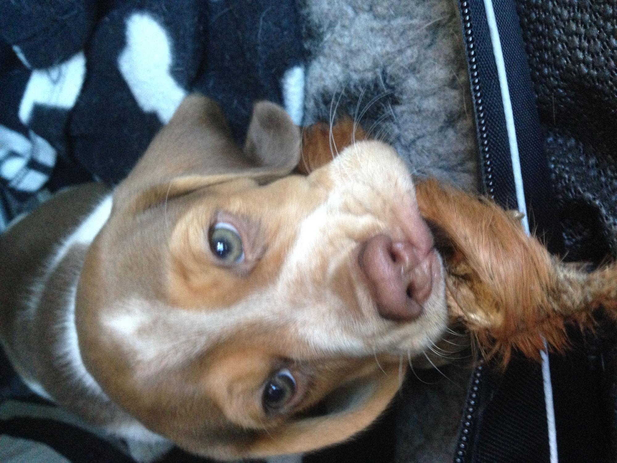 Eine Beaglewelpe zieht ein – ein guter Start ins Hundeleben, was brauchts?