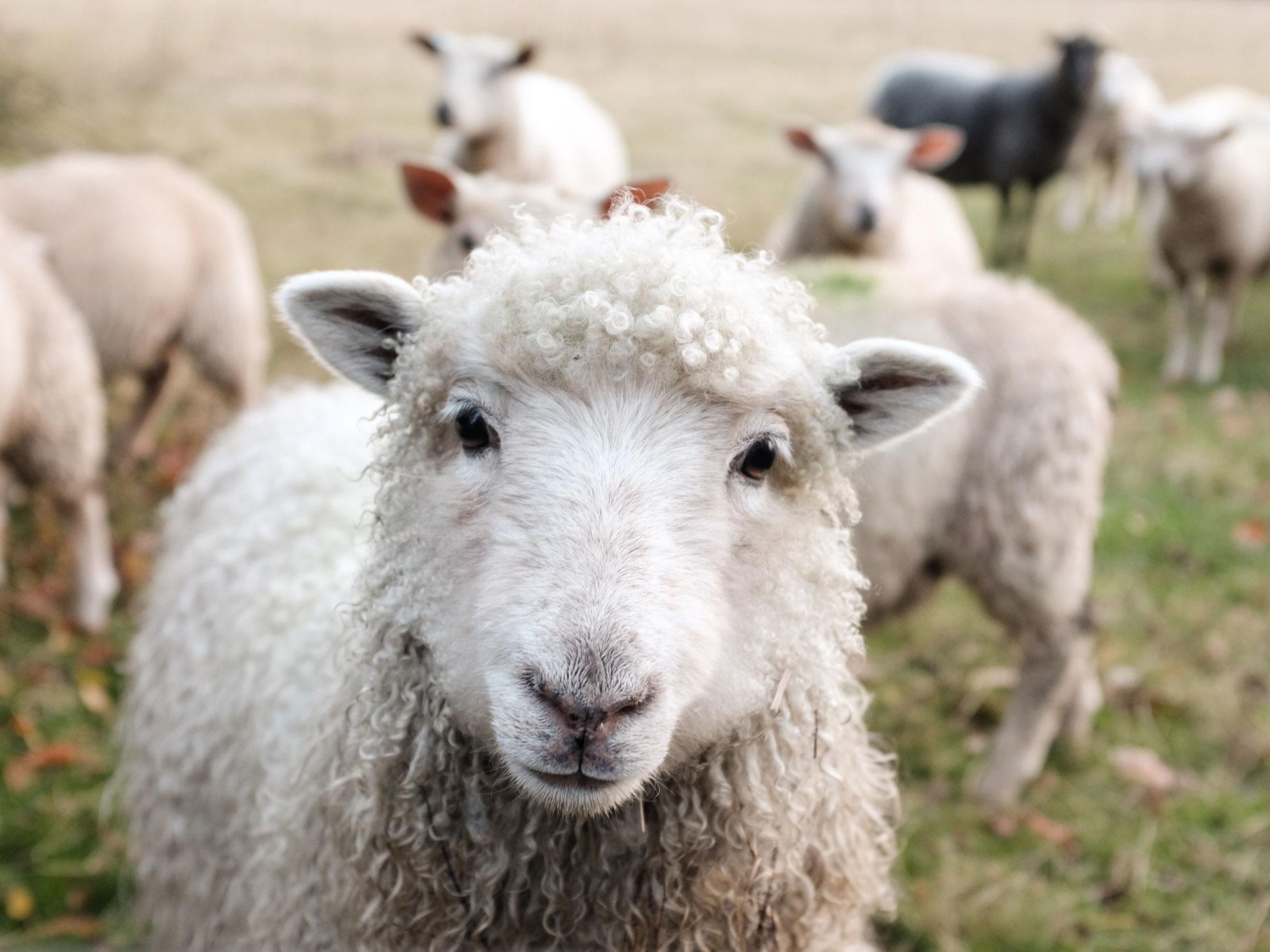 Récolte & tri de la laine du automne 2020