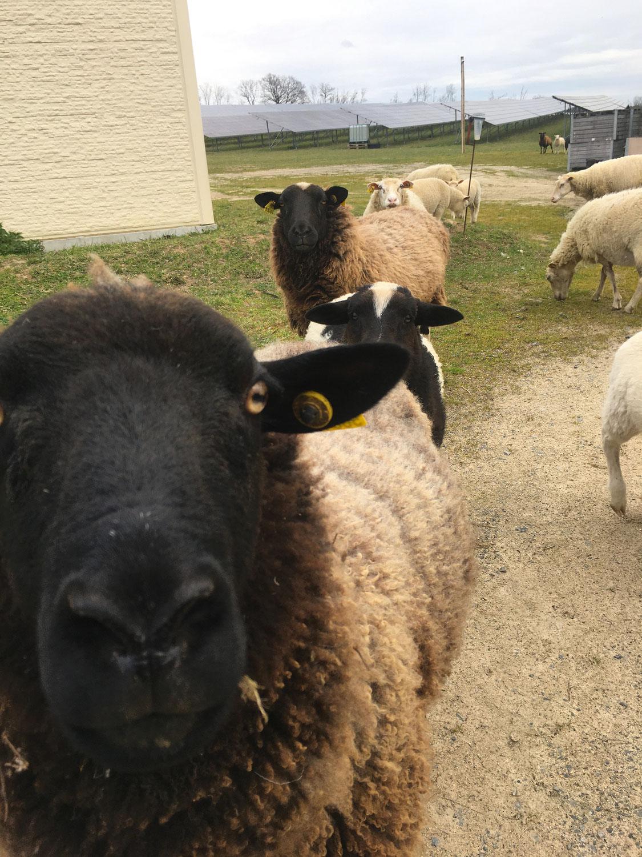 Offre emploi ingénieur agronome élevage ovin
