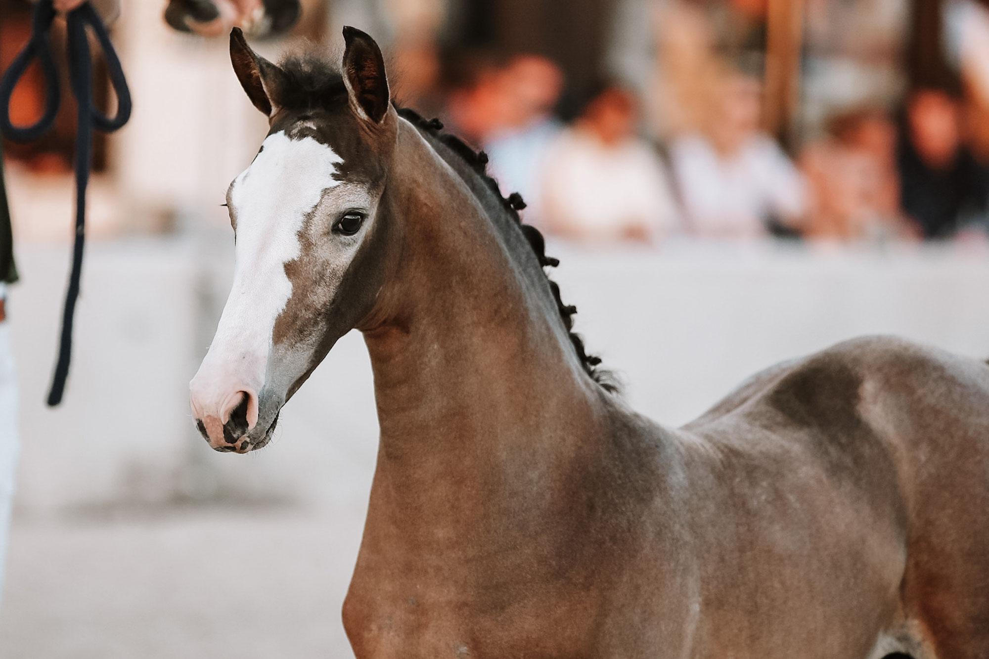 Horse Auctions Europe: startpunt van kopen op veilingen