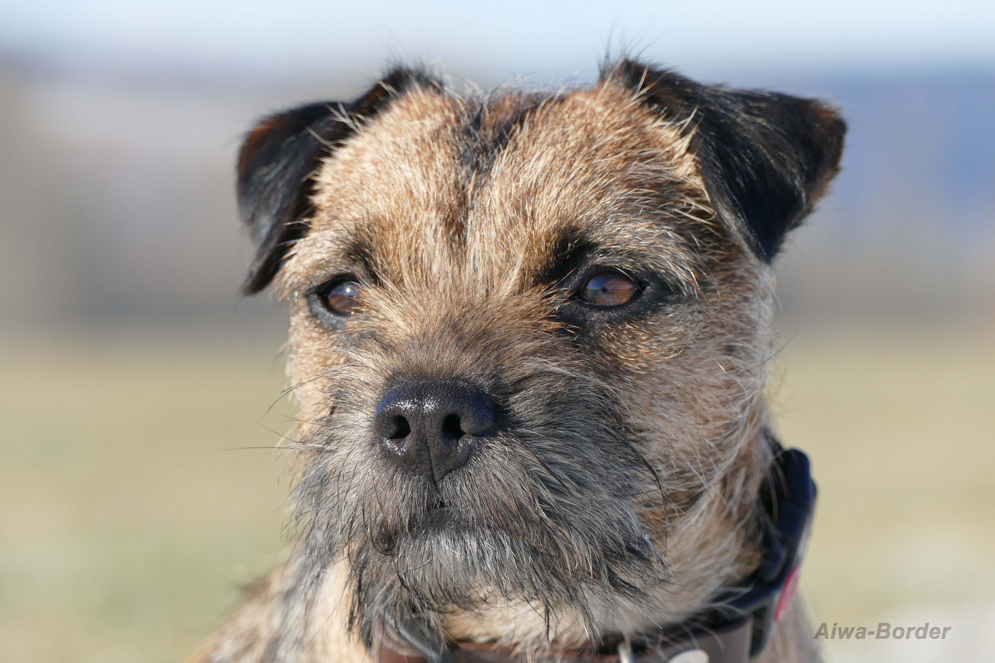 Links Border Terrier Zuchter Von Aiwa