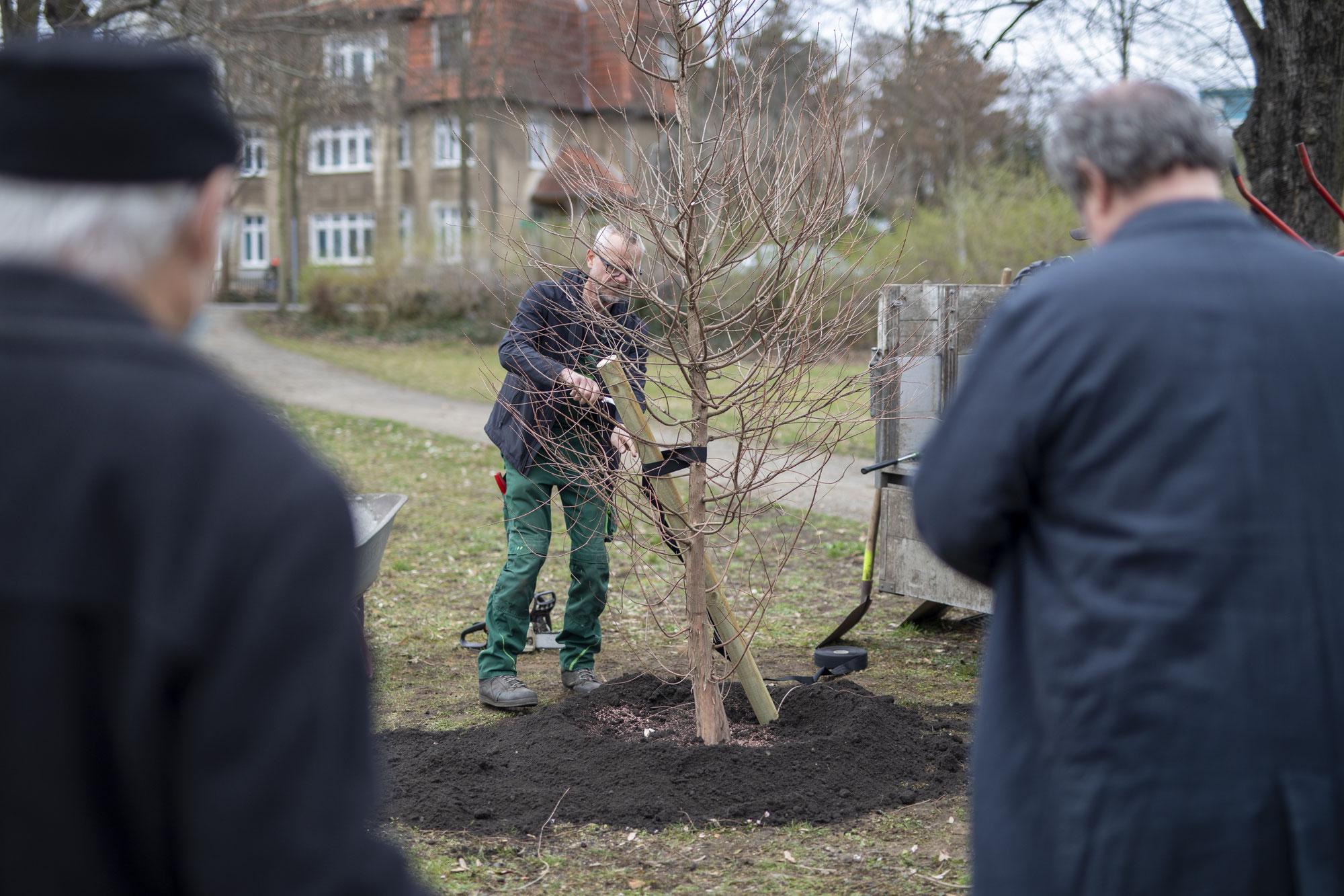 In Senftenberg wächst wieder eine Sumpfzypresse