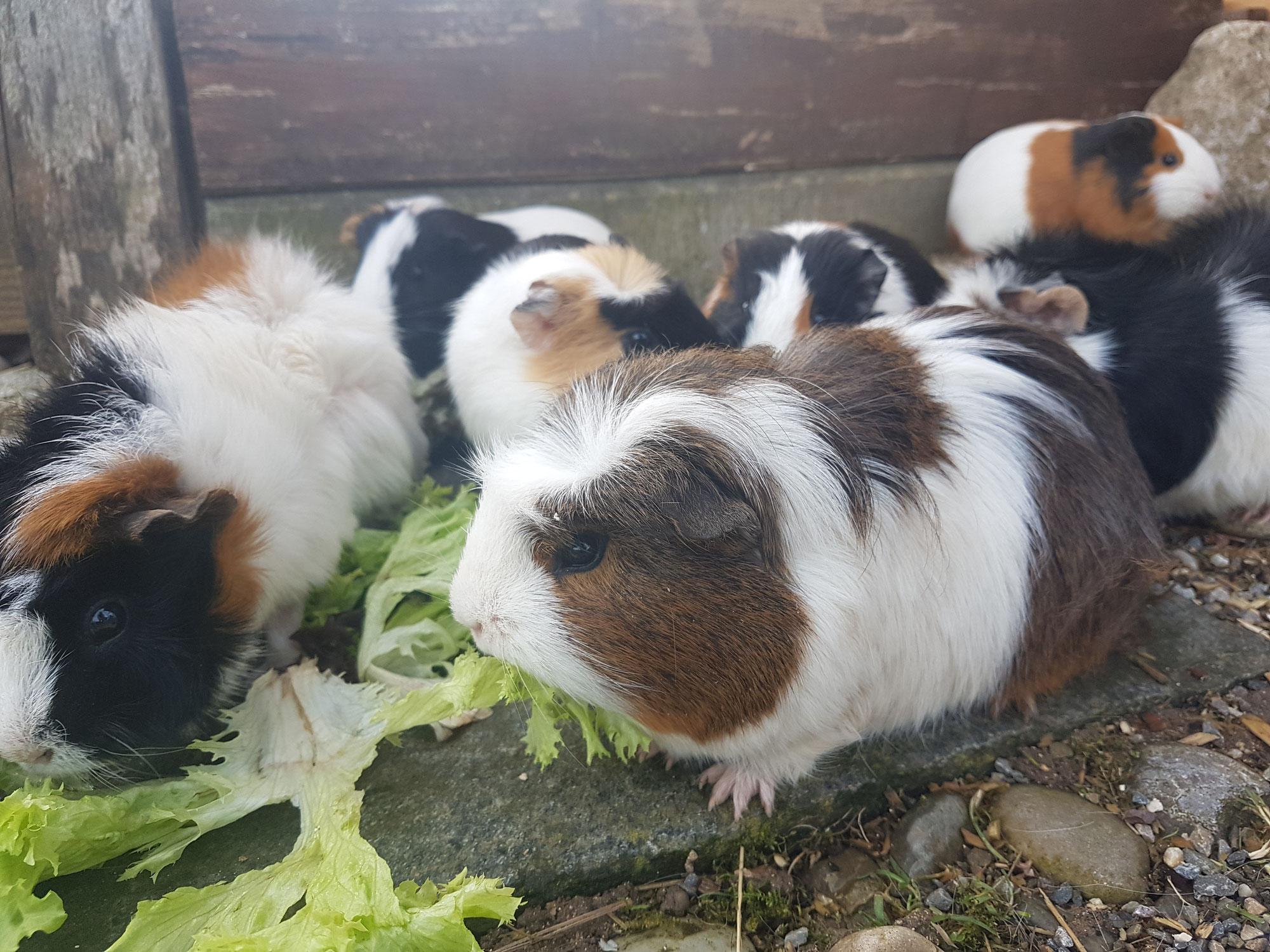 9 kleine Meerschweinchen