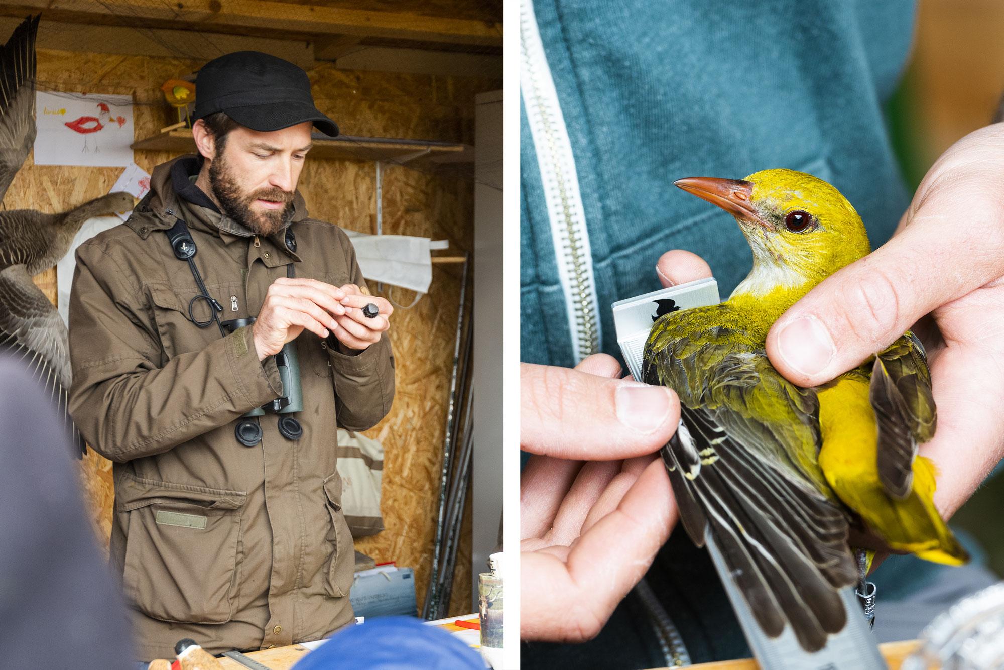 Live Vogelberingung online