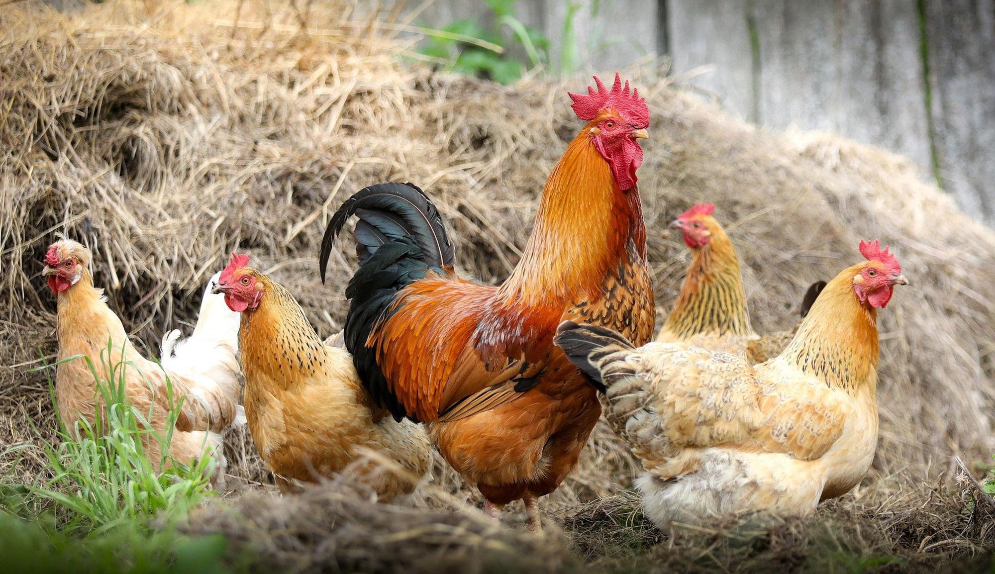 Hühner dürfen wieder raus: Stallpflicht aufgehoben