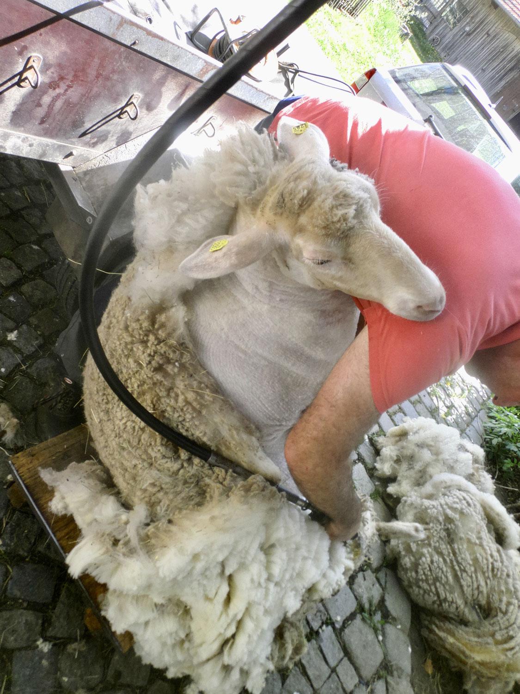 Schafscherer und Aussaat