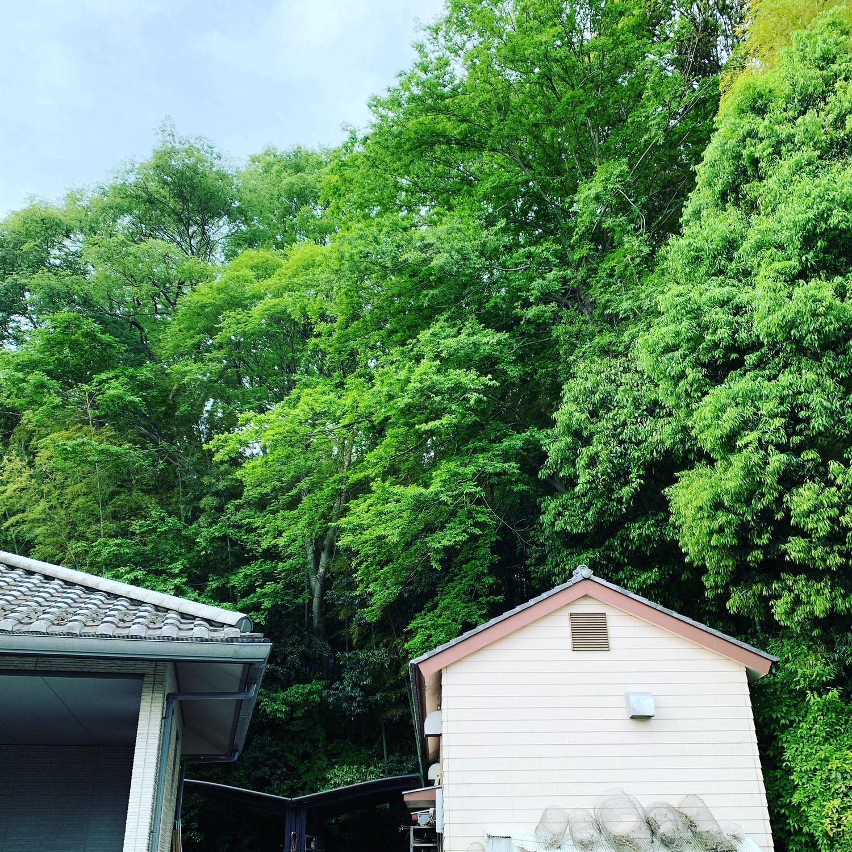 30メートル級の樹木達が互いに大きく育ち密になってきたので不要な樹木の伐採作業
