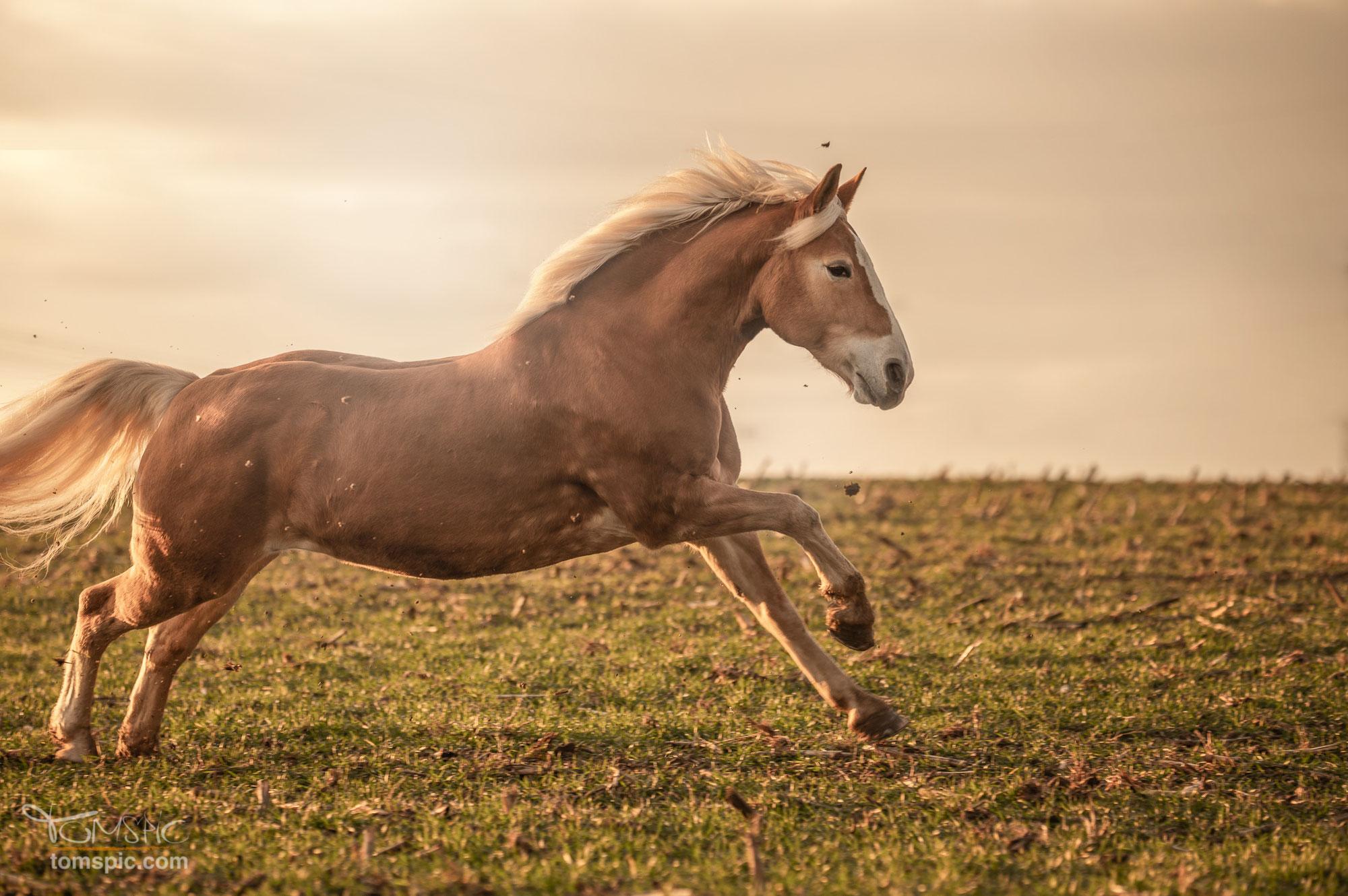 Hafipower | Pferdefotografie Leonberg