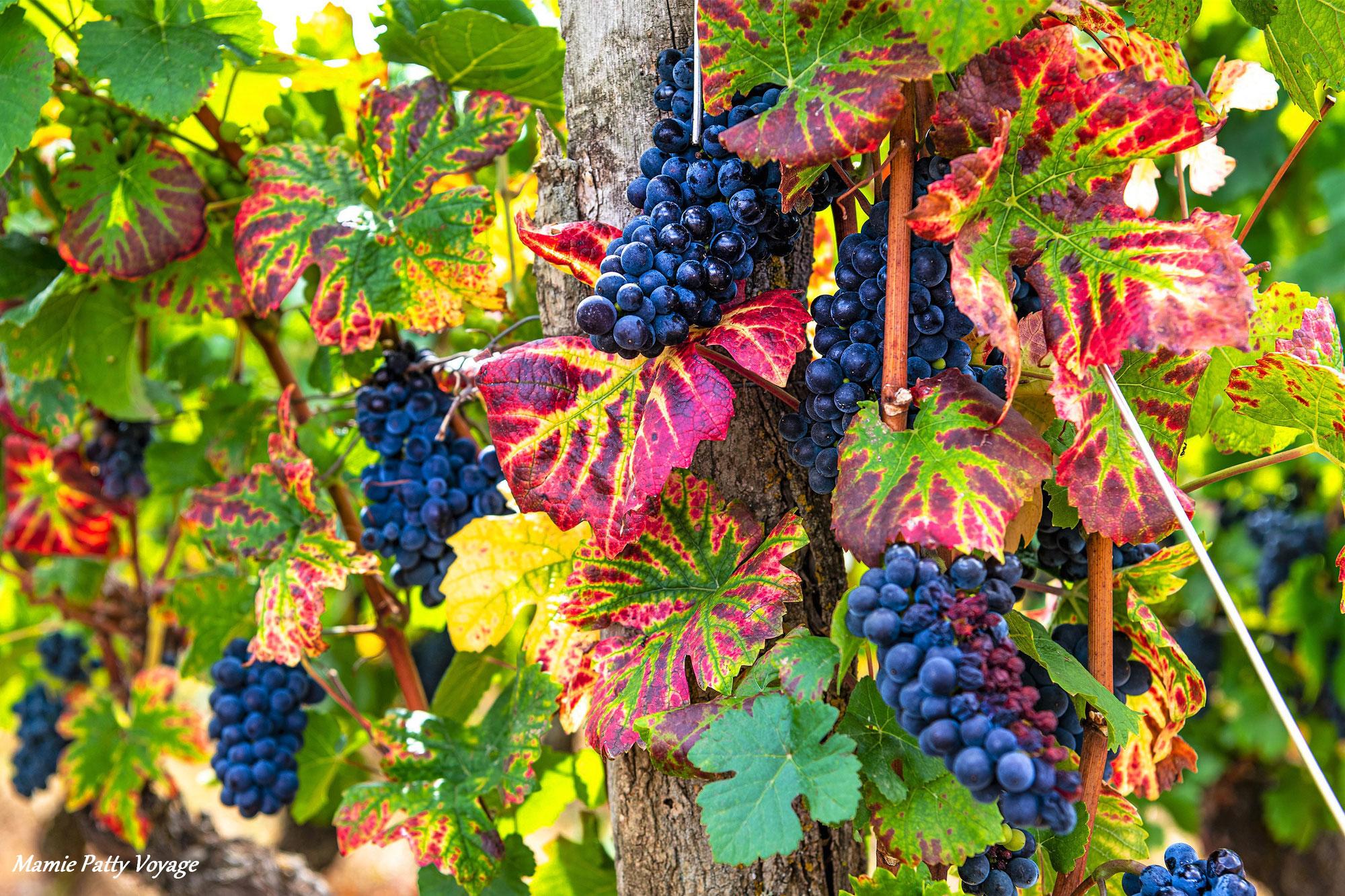 La vigne, la fierté des bourguignons