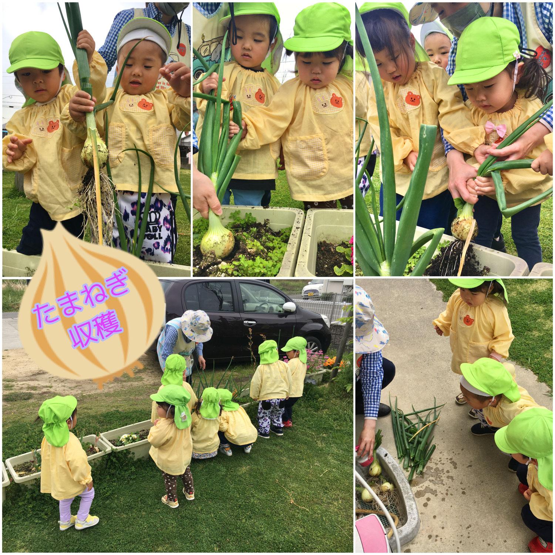 玉ねぎの収穫をしたよ🎵
