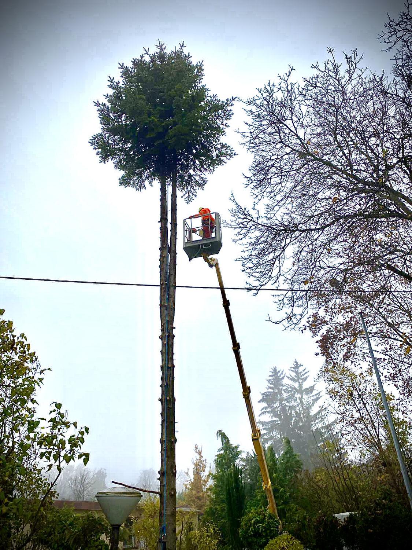 Baumfällung über Stromleitung