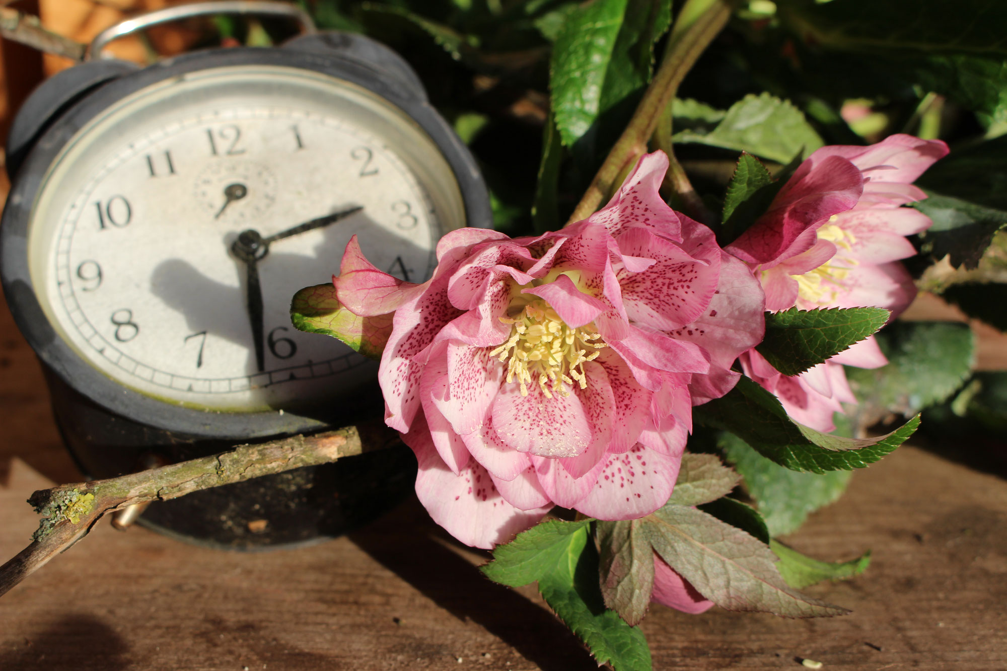 Lenzrosen im Garten