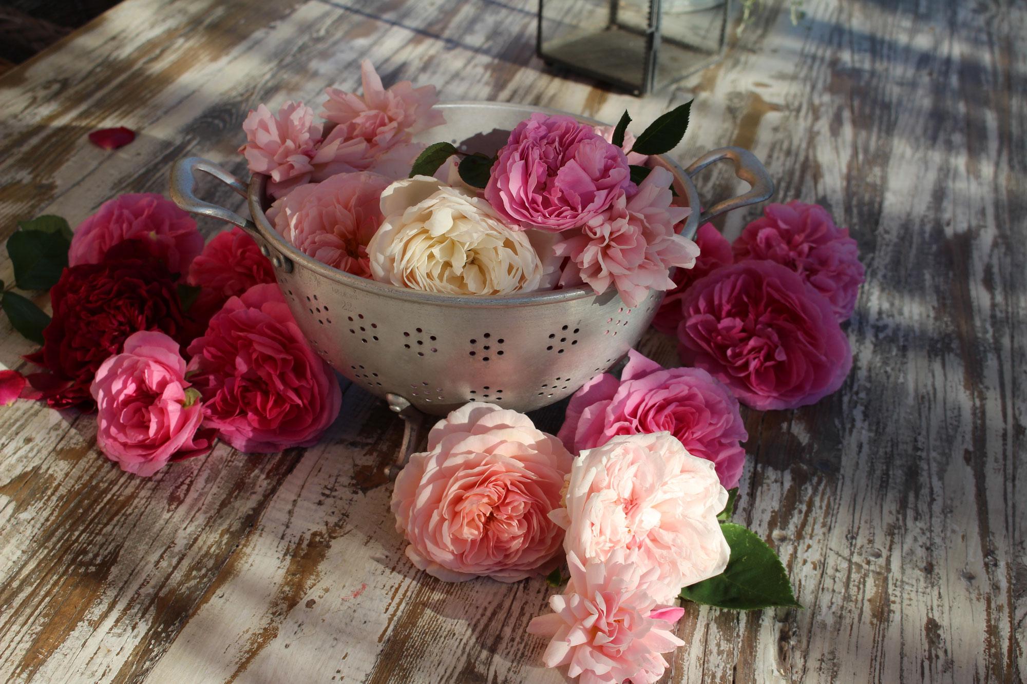 Rosen aus unserem Garten