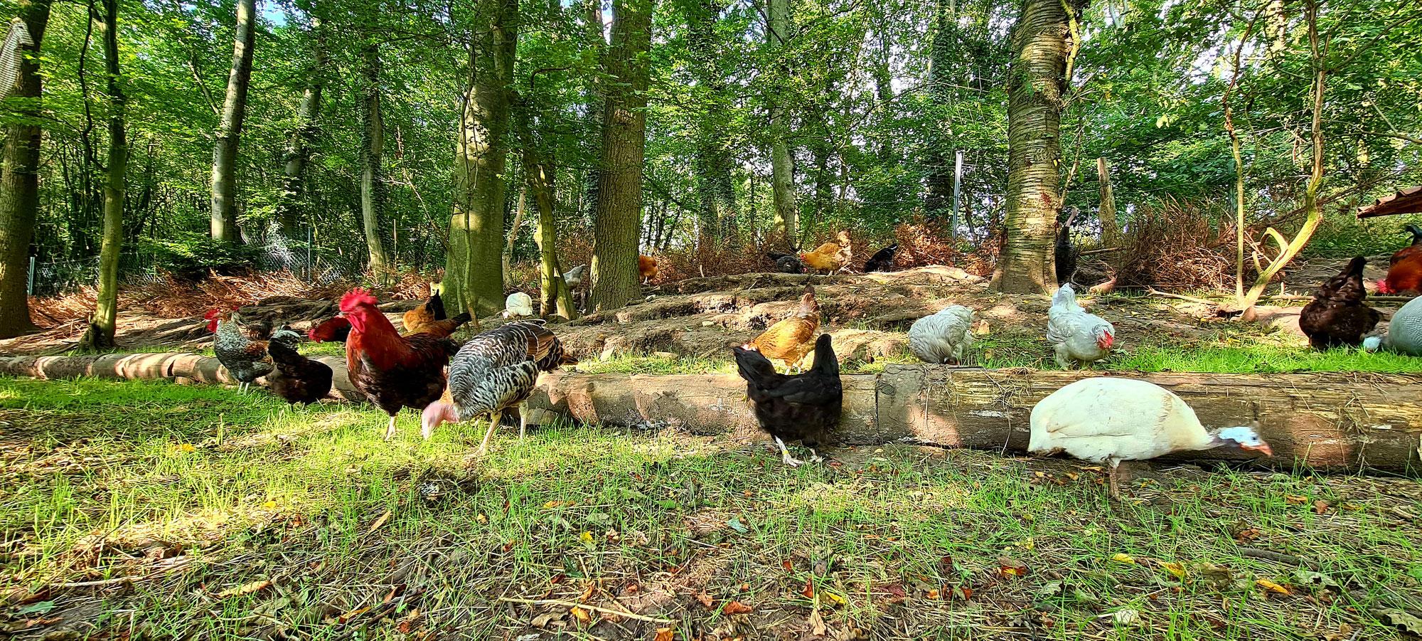 Unsere Waldhühner genießen den Sommer