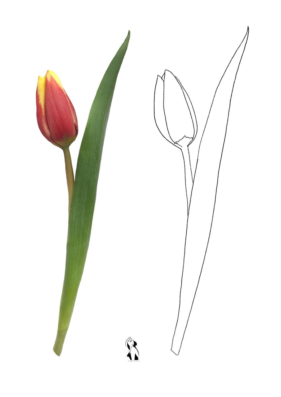 Zeichenvorlage Tulpe