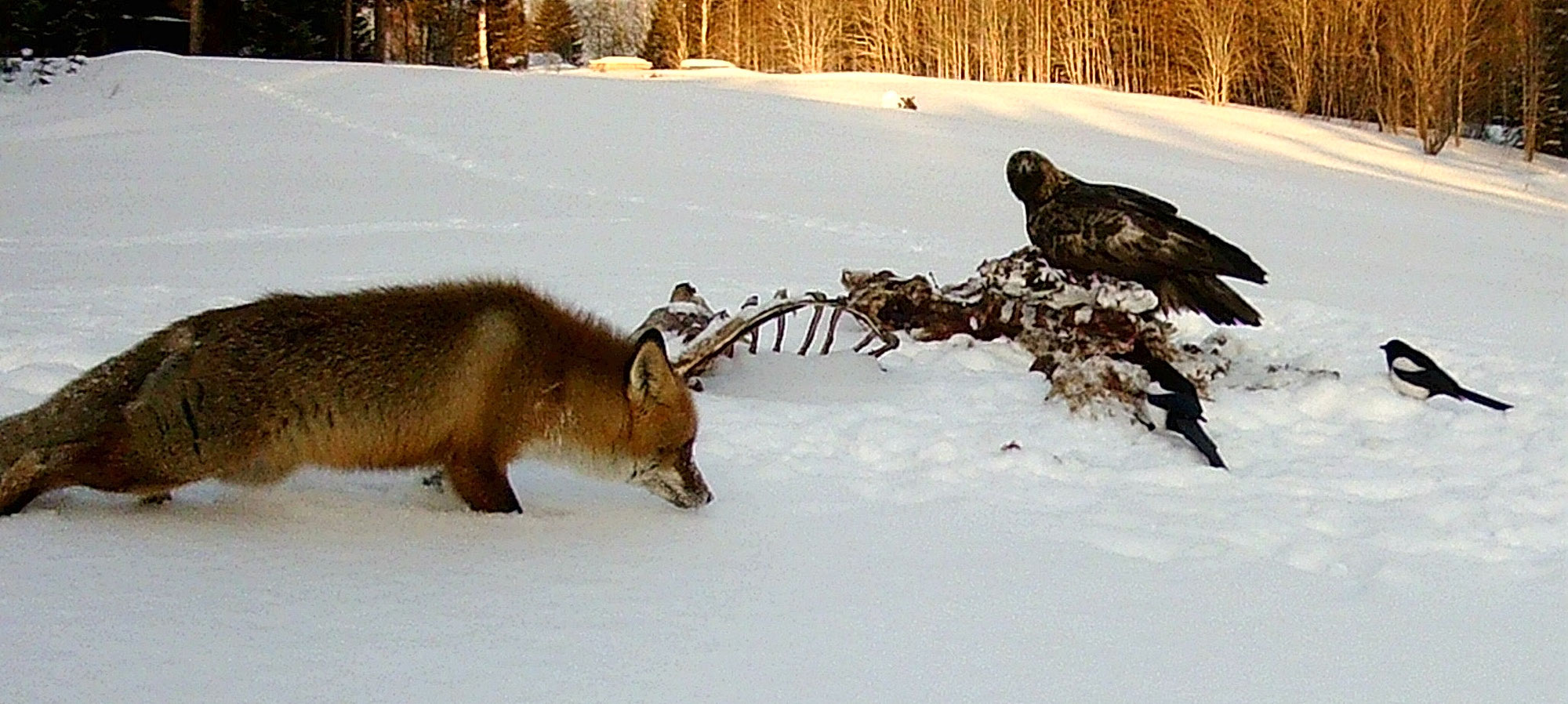 Adler und Fuchs gemeinsam am Futter