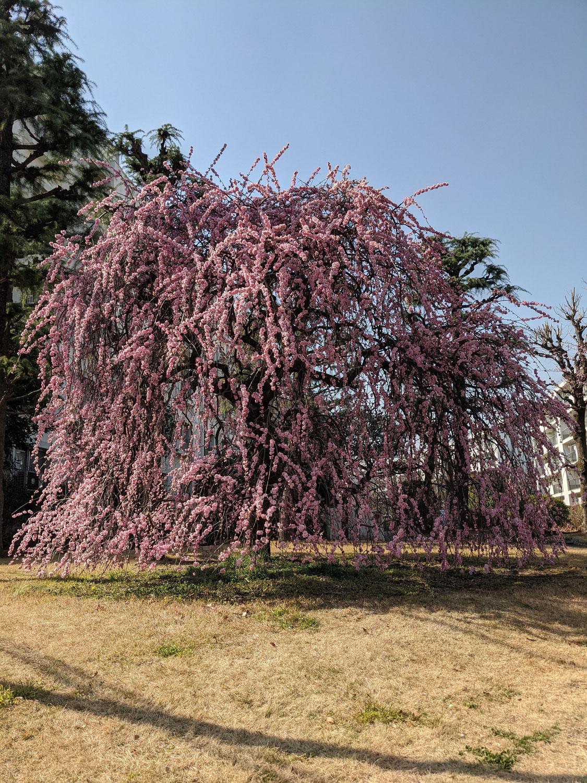 秋田 トランクルーム 春近し(^^♪ 枝垂桜開花