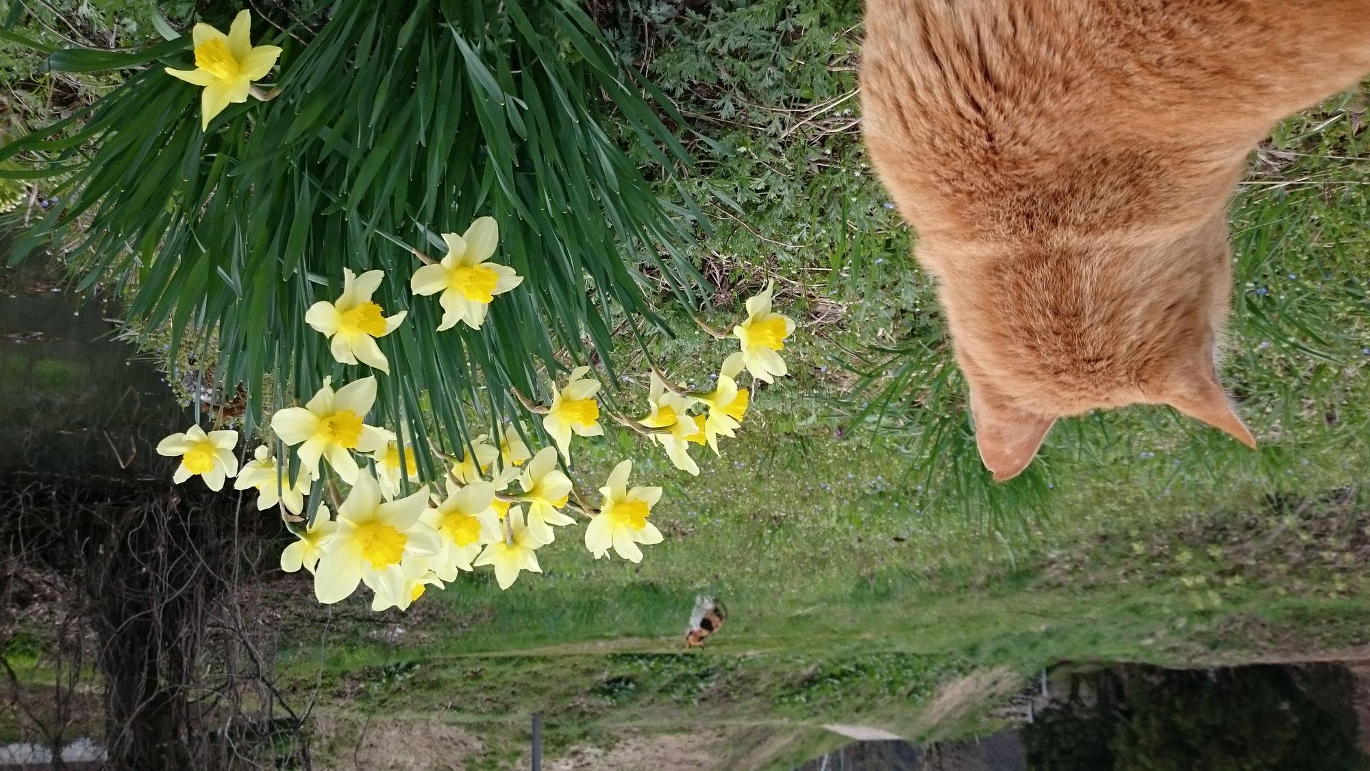 さくらんぼの花がほころんできました