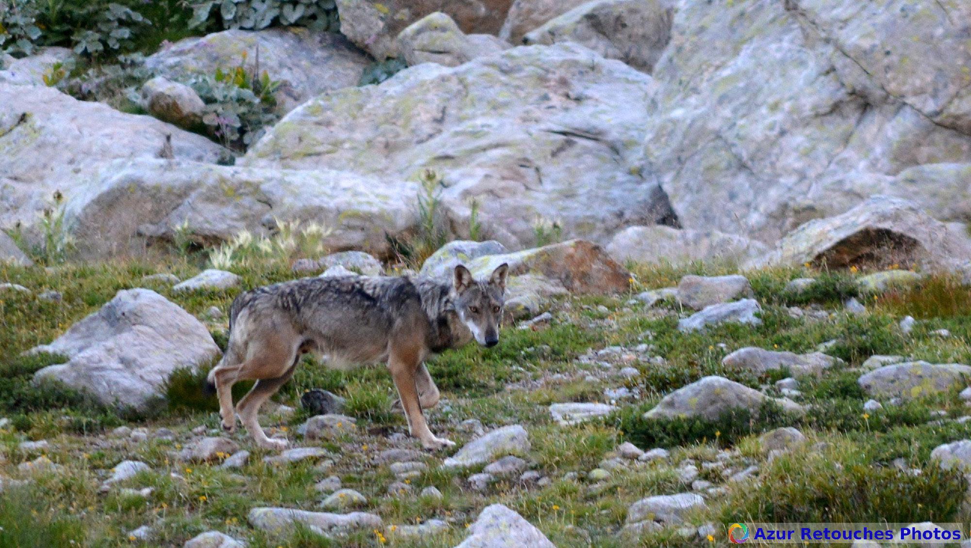 Loups du Mercantour et des préalpes de Grasse