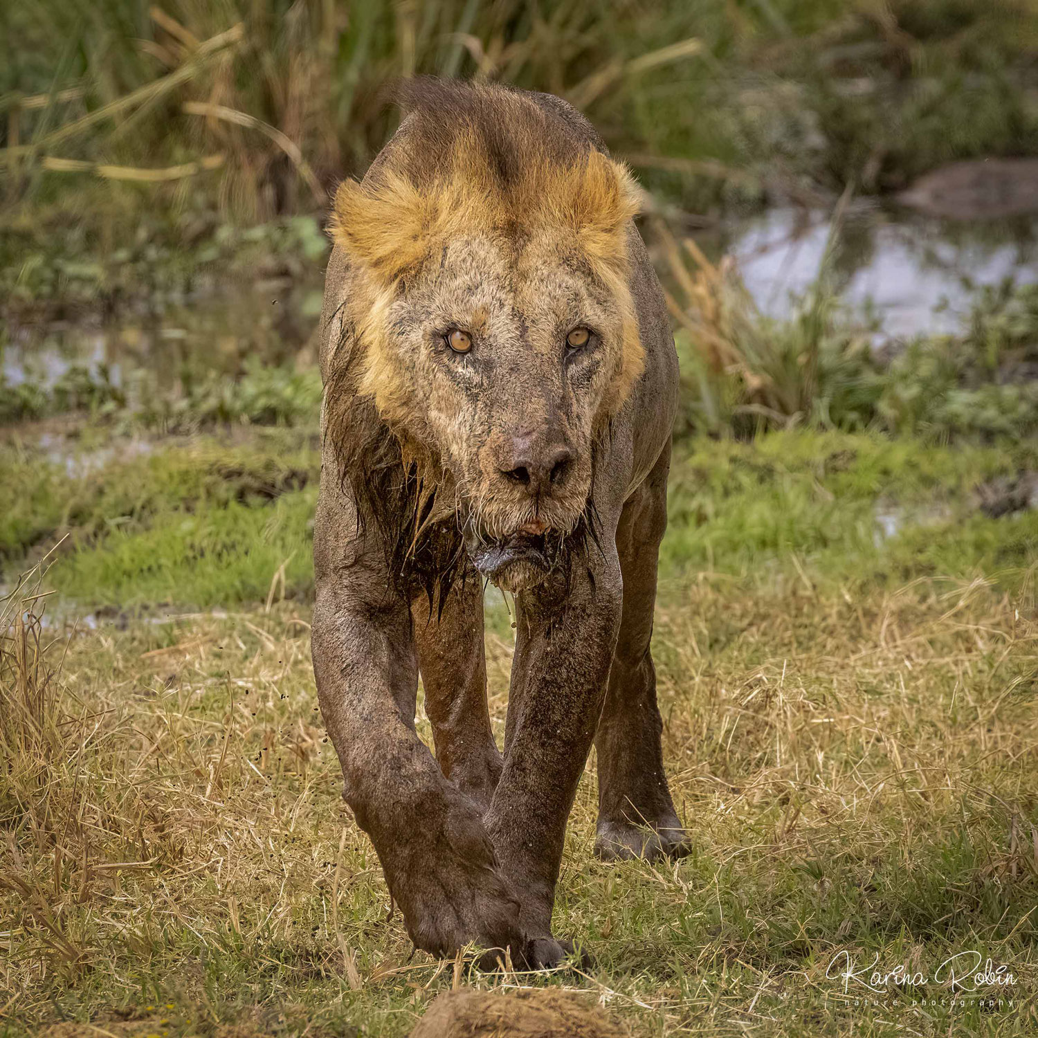 Meeting Loonkito, the world's oldest wild lion