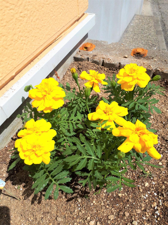 黄色いマリーゴールドの花言葉