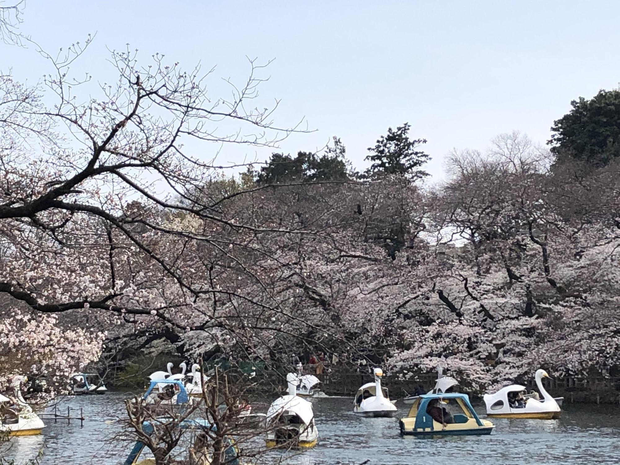 桜満開、東京は今週が見頃
