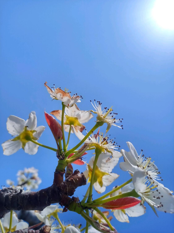 梨の花の不思議?