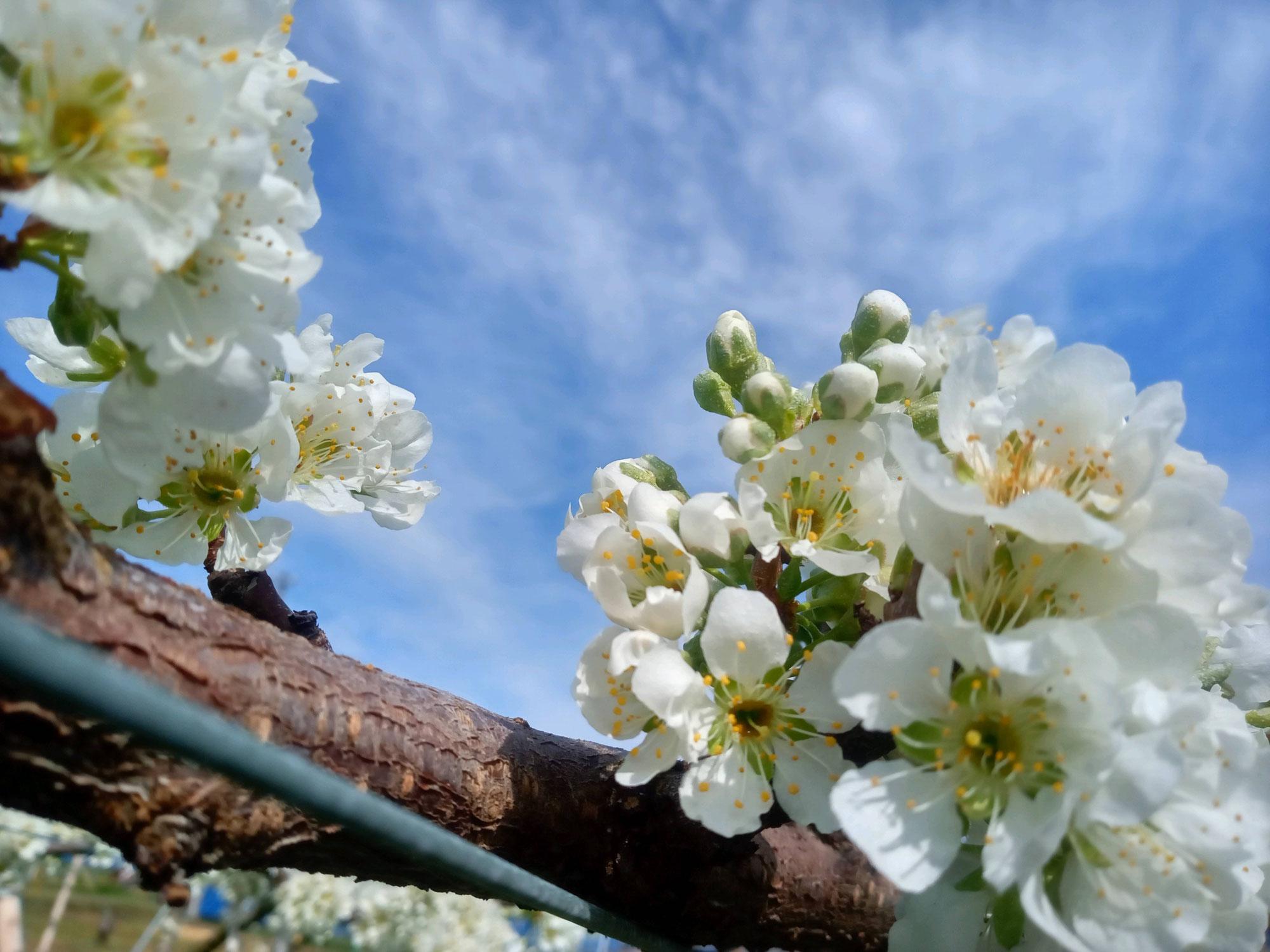 プラム開花と霜被害