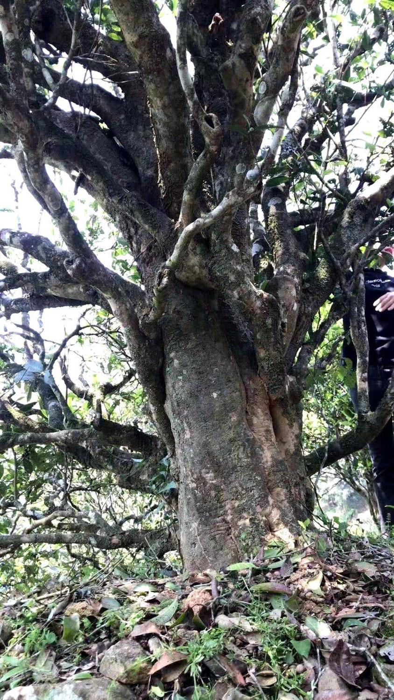 """來自 300年茶樹的 #老欉水仙 00years old tree """"Shui Xian"""""""