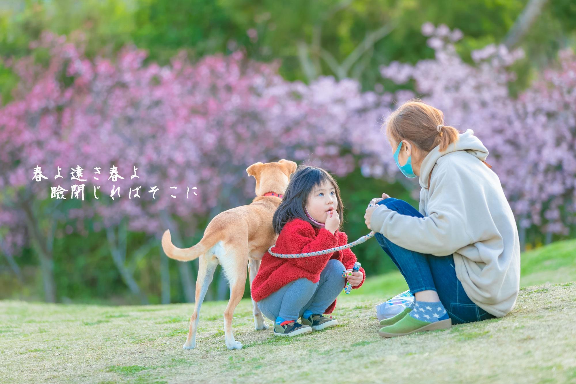 桜満開(本部町八重岳)